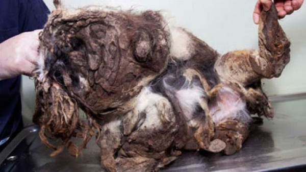 amazing transformation poor puppy was mistaken for a pile of garbage 2