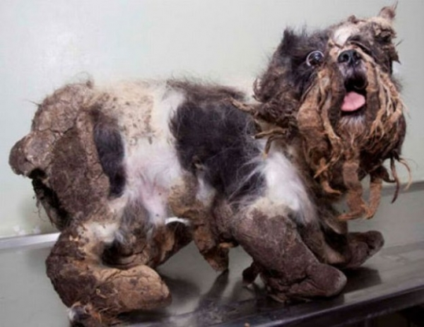 amazing transformation poor puppy was mistaken for a pile of garbage 4