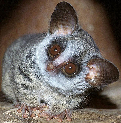 amazingly adorabe but really fierce bush babies 8 pictures 1