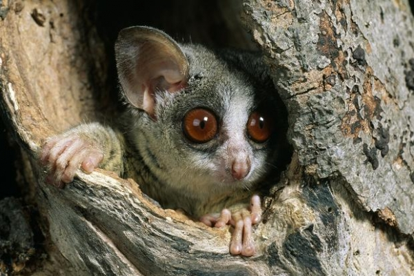 amazingly adorabe but really fierce bush babies 8 pictures 2