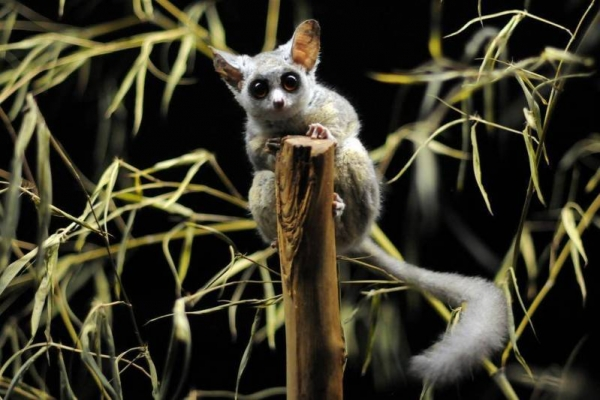 amazingly adorabe but really fierce bush babies 8 pictures 3
