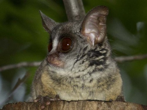 amazingly adorabe but really fierce bush babies 8 pictures 4