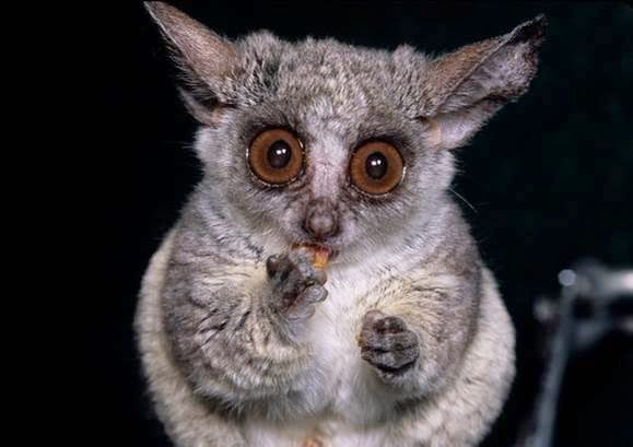 amazingly adorabe but really fierce bush babies 8 pictures 5