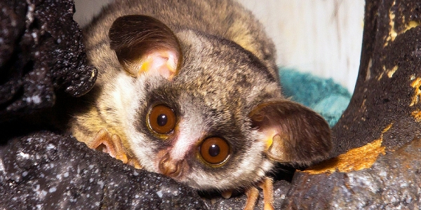 amazingly adorabe but really fierce bush babies 8 pictures 6