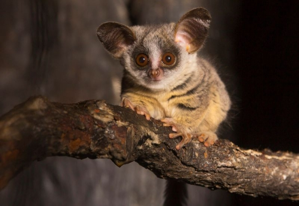 amazingly adorabe but really fierce bush babies 8 pictures 7