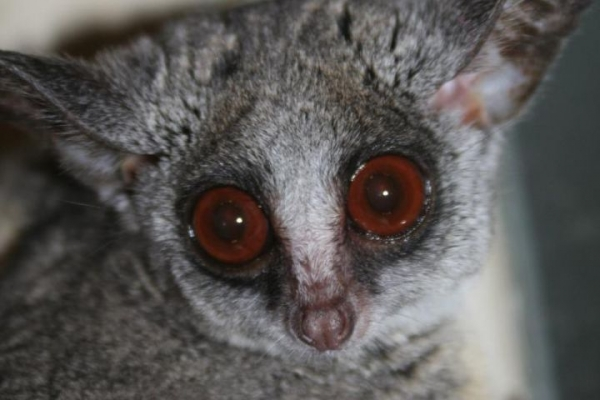 amazingly adorabe but really fierce bush babies 8 pictures 8