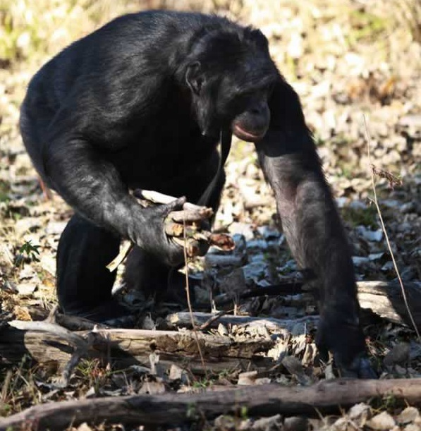 amazingly smart chimp kanzi 11 pictures 1