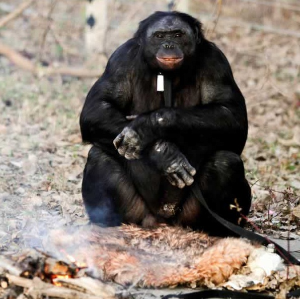 amazingly smart chimp kanzi 11 pictures 10