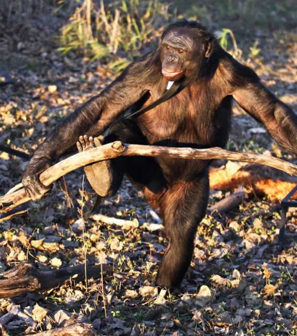 amazingly smart chimp kanzi 11 pictures 2