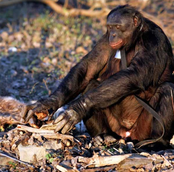 amazingly smart chimp kanzi 11 pictures 3