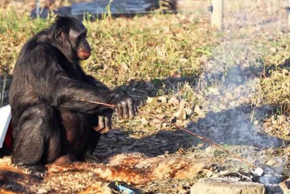 amazingly smart chimp kanzi 11 pictures 8