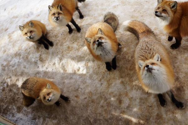 another beautiful place in japan zao fox village 17 pics 1 video 6