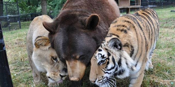 bear lion and tiger  10
