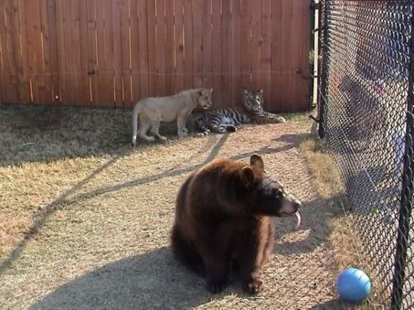 bear lion and tiger  3