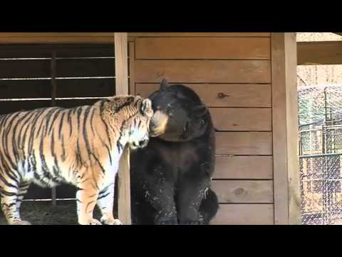 bear lion and tiger  6