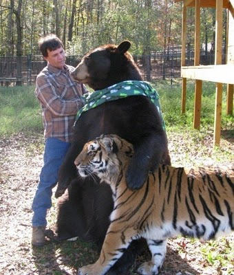 bear lion and tiger  8