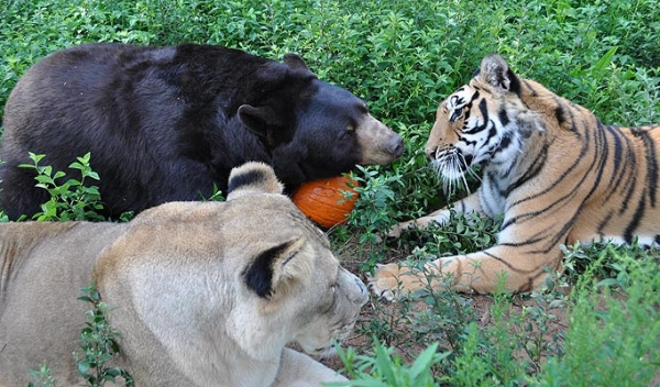 bear lion and tiger  9