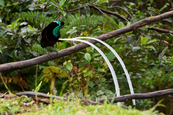 beautiful birds of paradise are masters of courtship rituals 5 pictures 5 videos 2