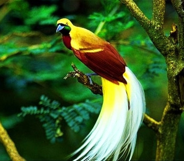 beautiful birds of paradise are masters of courtship rituals 5 pictures 5 videos 4