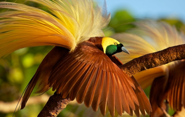 beautiful birds of paradise are masters of courtship rituals 5 pictures 5 videos 5