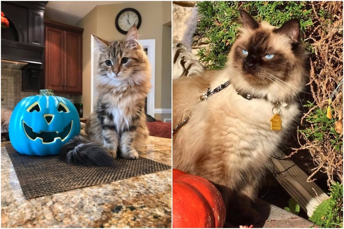 beautiful siberian cats coco chanel and oscar the great 12
