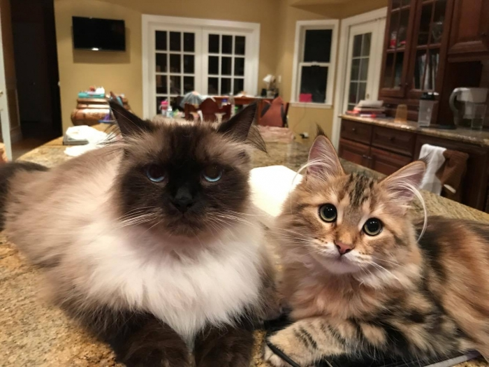 beautiful siberian cats coco chanel and oscar the great 5