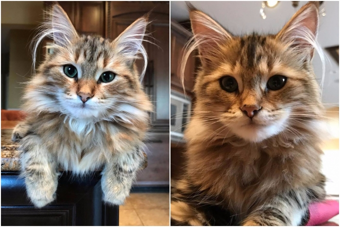beautiful siberian cats coco chanel and oscar the great 9