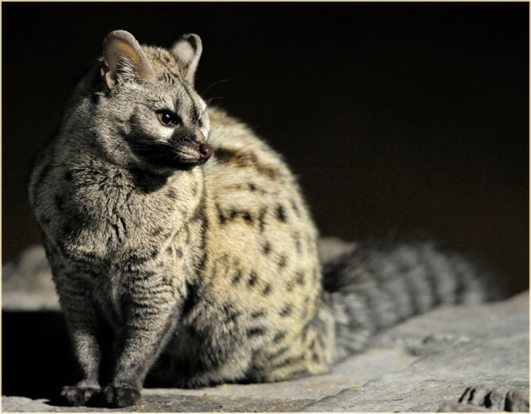 believe it or not this animal isnt a cat 7 pictures 2