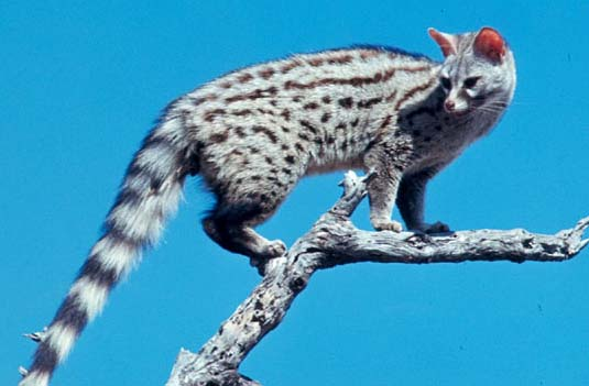 believe it or not this animal isnt a cat 7 pictures 3