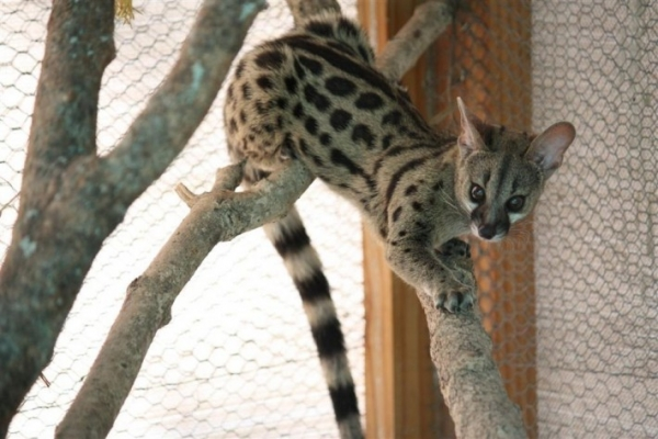 believe it or not this animal isnt a cat 7 pictures 4