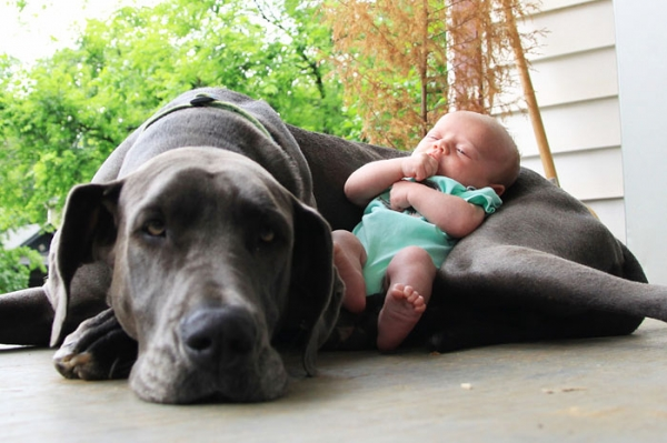 big dog is a danger to the baby nah 14 pics 8