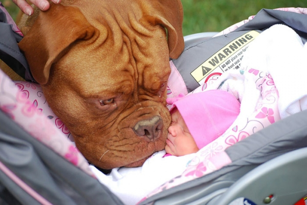 big dog is a danger to the baby nah 14 pics 9