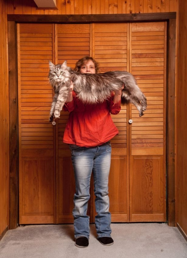 big fluffy and definitely adorable maine coon cat 10 pictures 11