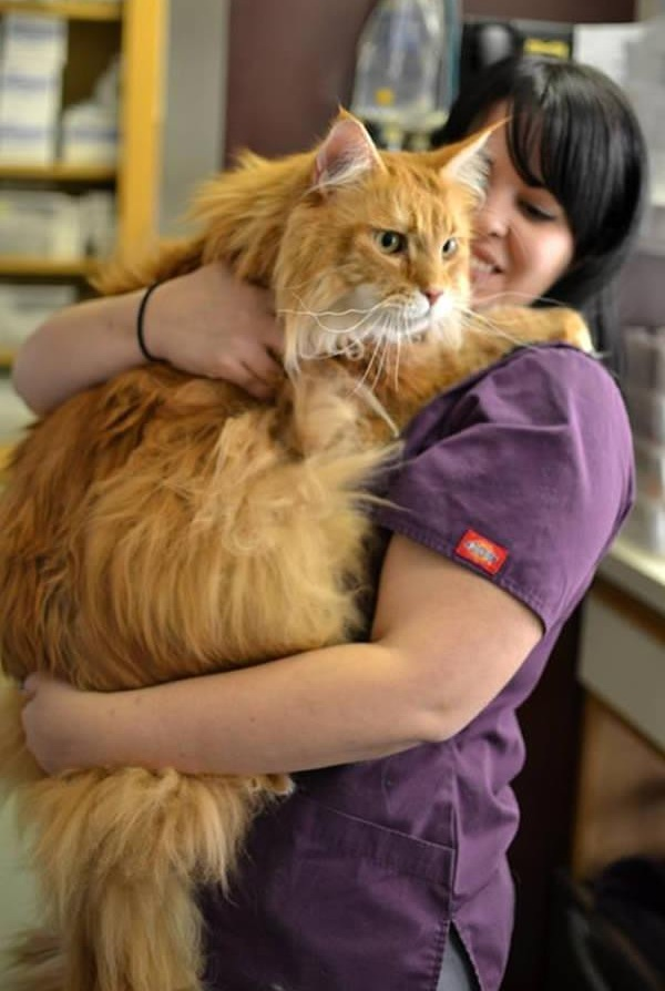 big fluffy and definitely adorable maine coon cat 10 pictures 2