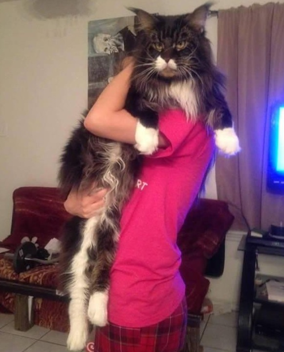 big fluffy and definitely adorable maine coon cat 10 pictures 3