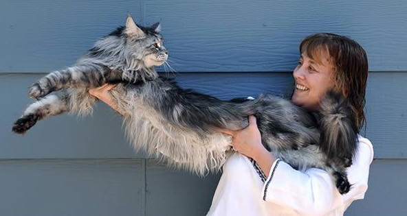 big fluffy and definitely adorable maine coon cat 10 pictures 4