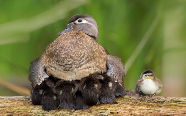 birds are really amazing parents 10 pictures 8