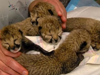 blakely steps in and adopts 5 cheetah cubs 10 pictures 1 video 2