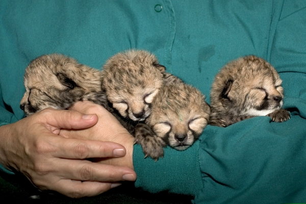blakely steps in and adopts 5 cheetah cubs 10 pictures 1 video 4