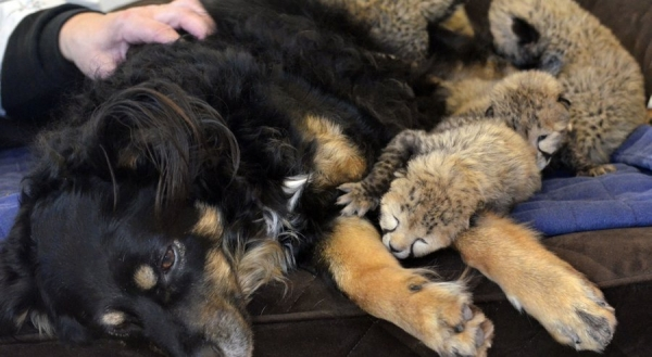 blakely steps in and adopts 5 cheetah cubs 10 pictures 1 video 8