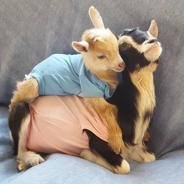 blind goat that loves her costume  11 pictures 10