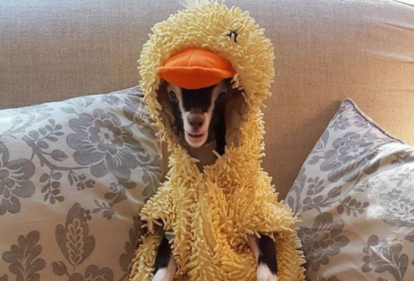 blind goat that loves her costume  11 pictures 4