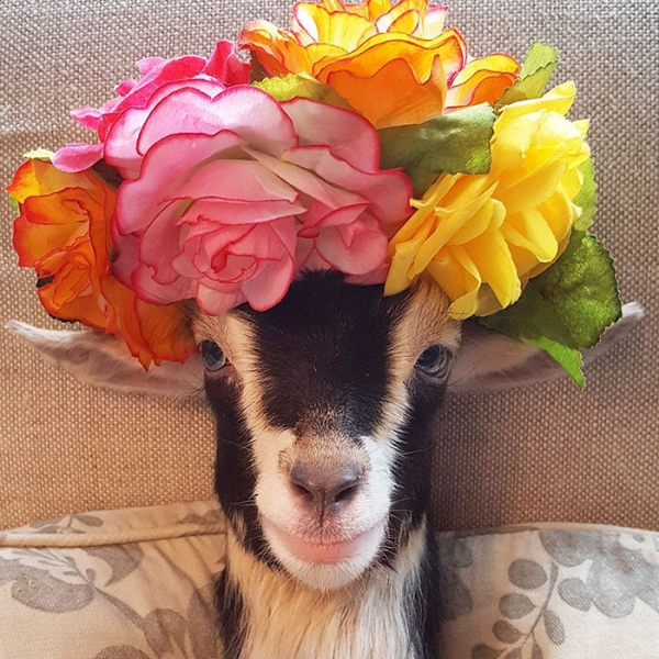 blind goat that loves her costume  11 pictures 8