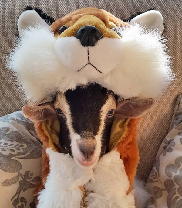 blind goat that loves her costume  11 pictures 9