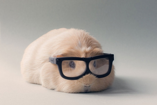 booboo  the gang 13 pic of the most adorable guinea pig models 1