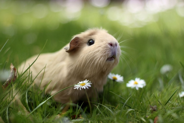 booboo  the gang 13 pic of the most adorable guinea pig models 12