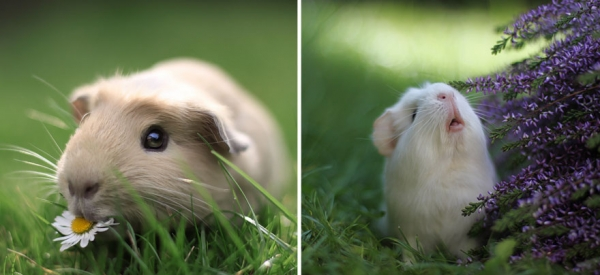 booboo  the gang 13 pic of the most adorable guinea pig models 3