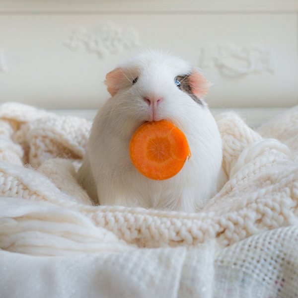 booboo  the gang 13 pic of the most adorable guinea pig models 4