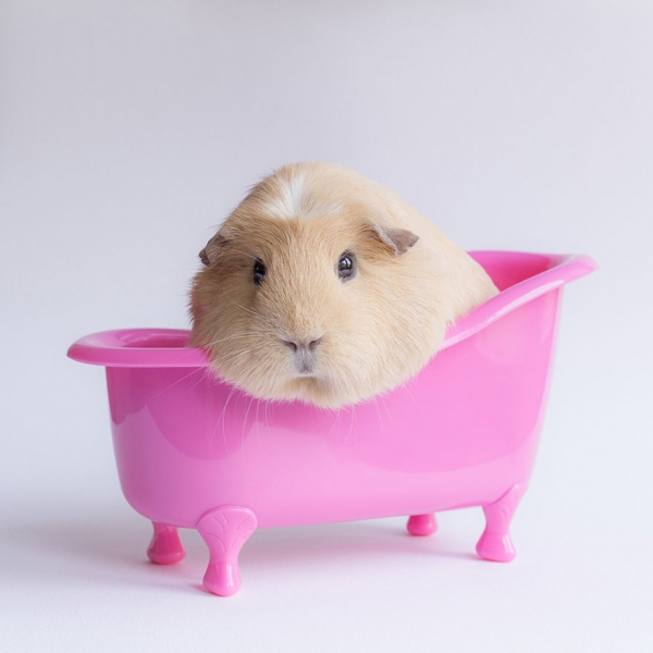 booboo  the gang 13 pic of the most adorable guinea pig models 5
