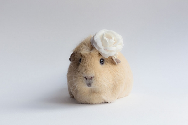 booboo  the gang 13 pic of the most adorable guinea pig models 6
